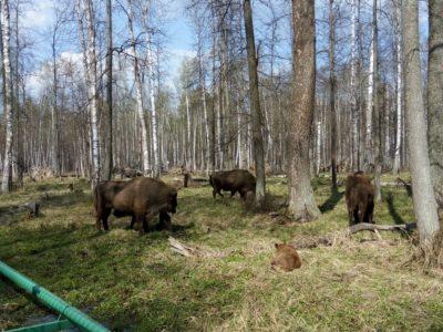 Приокско-террасный природный заповедник. Зубры и бизоны