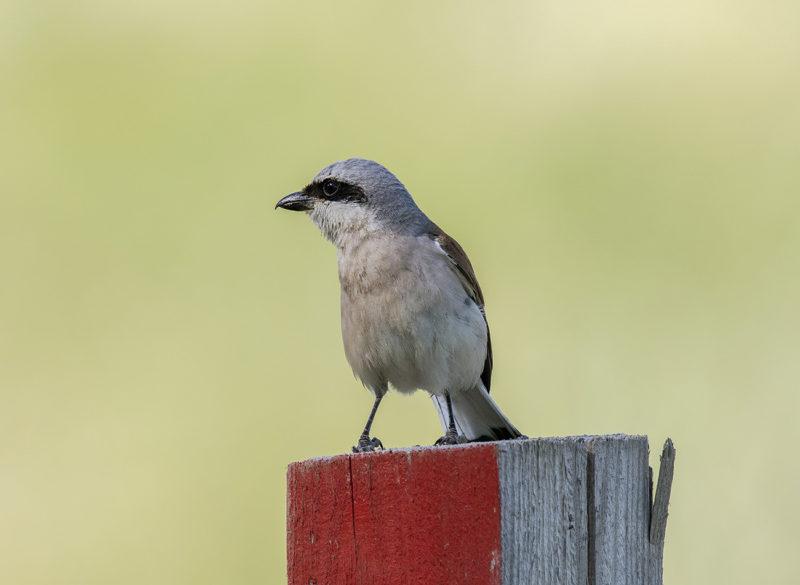 Обыкновенный жулан – маленькая птичка по прозвищу «Палач»