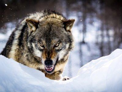 Ошибка волка. (Есть, над чем задуматься)