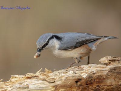 Поползень – птица-древолаз