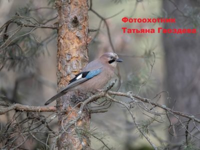 Сойка  —  птица-«пересмешница»