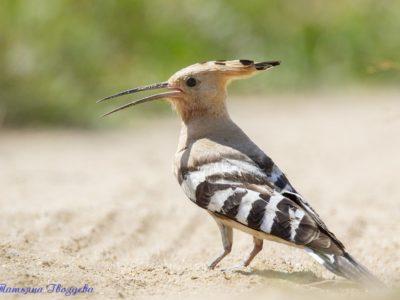 Удод — одна из самых ярких птиц России