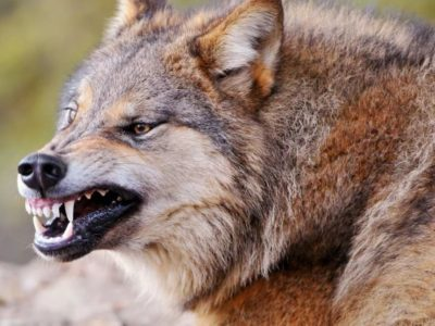Волки в озёрском лесу?