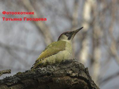 Зелёный дятел – пугливый и осторожный обитатель леса