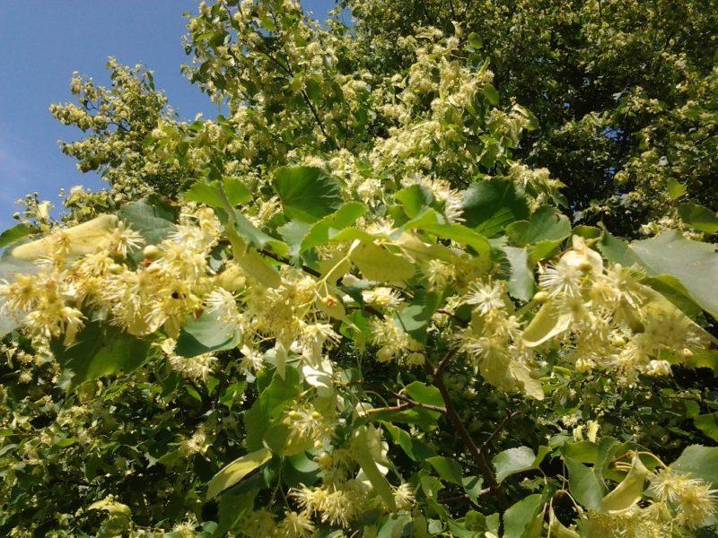 Сбор цветущей липы