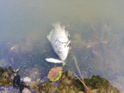 Гибнет рыба в Горском пруду!