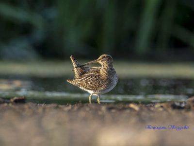Бекас — болотная птица с длинным клювом