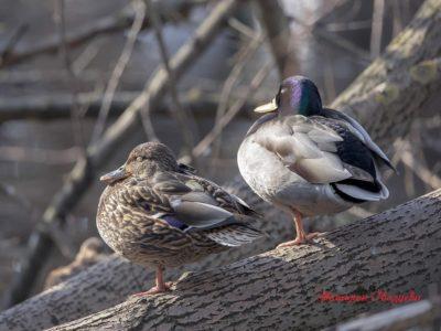 Кряква – самая крупная и самая распространенная дикая утка
