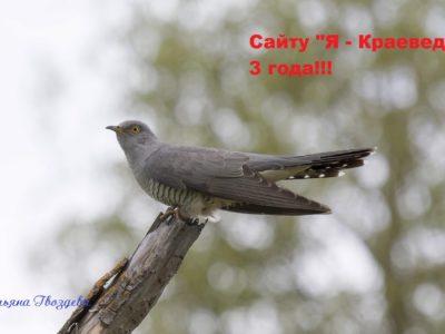 Кукушка обыкновенная — один из наиболее совершенных гнездовых паразитов